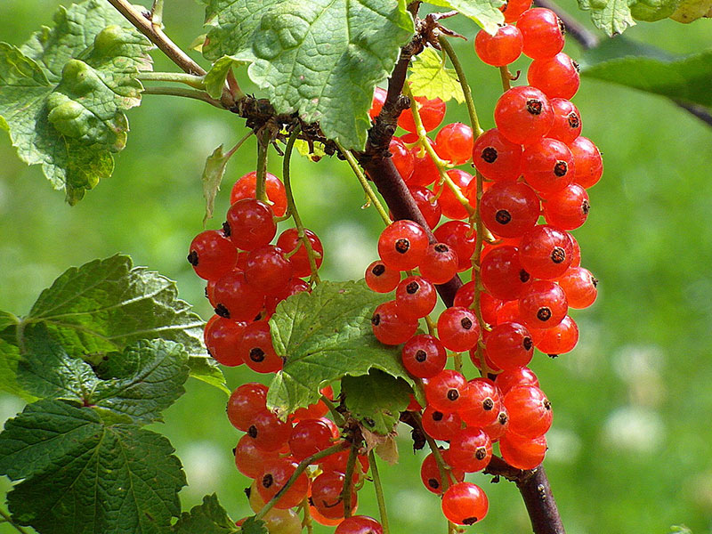 Currants Berries For Africa